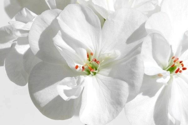 пеларгонія біла