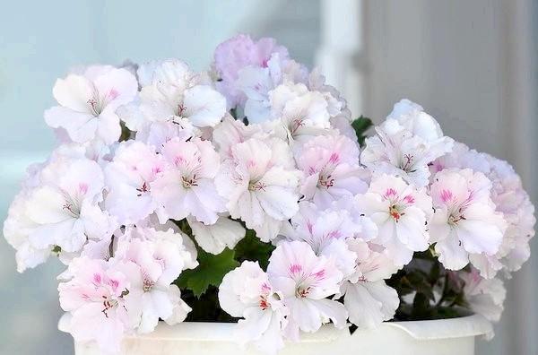 ніжні квіти пеларгонії