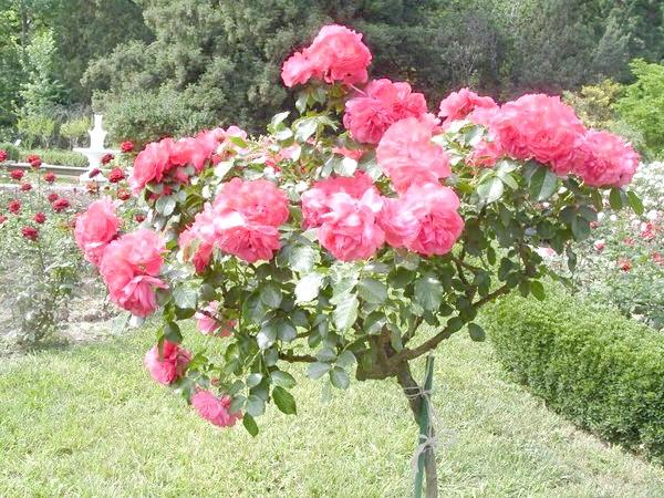 Романтична троянда Rosarium Uetersen
