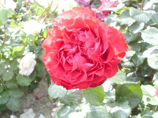 Квадратірованний центр квітки у романтичній троянди Traviata
