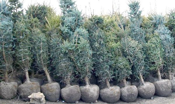 Хвойні рослини з гарним земляною грудкою до посадки готові