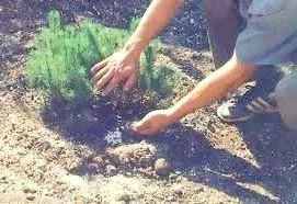 Посадка хвойного рослини