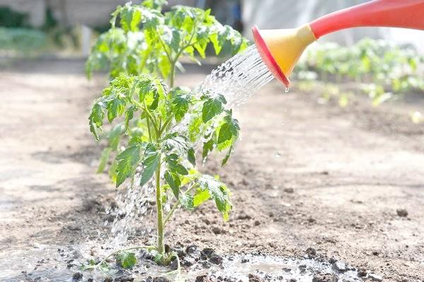 полив томатів