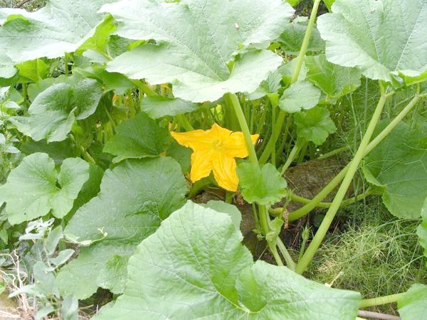 Гарбуз на городі