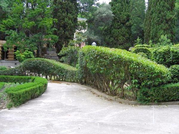 Вічнозелена формована жива огорожа