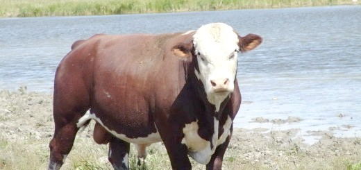 Білоголова корова, ucoz.ru