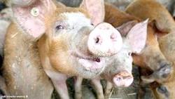 Фото - Африканська чума свиней - чим вона небезпечна, як виявляється, і чи можна вберегти тварин від зараження?
