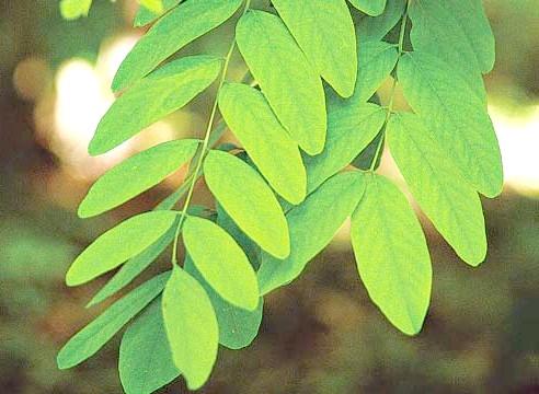 Акація, листя