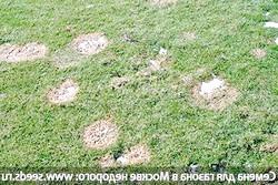 Фото - Хвороби газону: снігова пліснява, борошниста роса, іржа і червона нитка