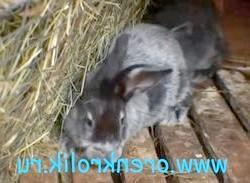 Хвороби кроликів та їх лікування, миксоматоз, кокцидіоз, ВГБК, вушний кліщ