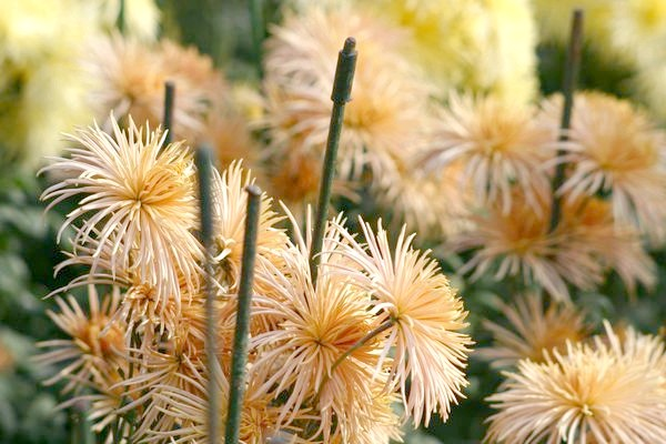 Світло-бронзові хризантеми на передньому плані
