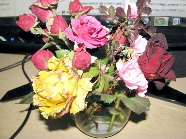 Зимові троянди