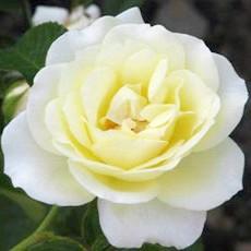 Чайно-гібридна троянда'Pascali'