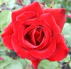 Чайно-гібридна троянда'Erotika'