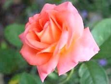 Чайно-гібридна троянда'Folklore'