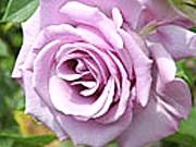 Чайно-гібридна троянда Блакитний Ніл (Blue-Nile)