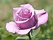 Бутон розквітаючій троянди Блакитний Ніл (Blue-Nile)