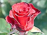 Бутон чайно-гібридної троянди