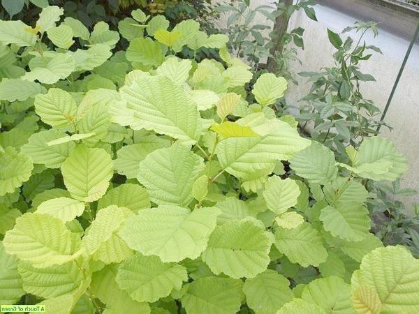 Alnus glutinosa Aurea. Фото з сайту atouchofgreen-gardenwebshop.nl