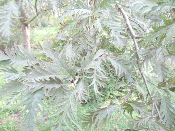 Alnus incana Pinnatifida