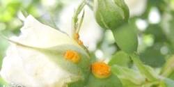 Фото - Чим може хворіти троянда, і як запобігти можливі хвороби?