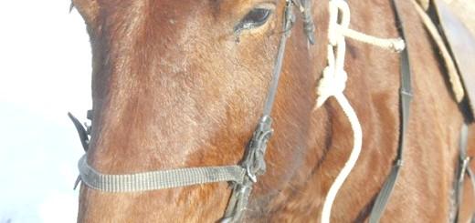 Хвора кінь відмовляється від їжі, static.ngs.ru