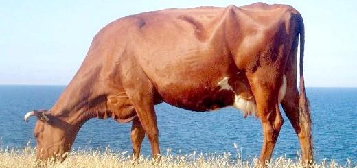 Корова червоної степової породи, clipart.net.ua