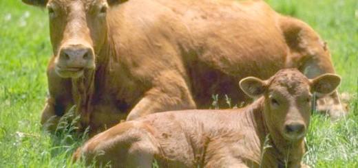 Корова і теля червоної степової породи, fermer.od.ua