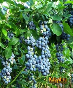Фото - Що таке лохина, види лохини, вирощування лохини