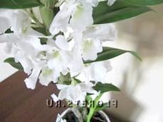 У орхідеї опадають квіти і бутони