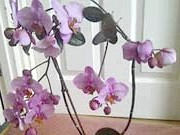 Квіти орхідеї