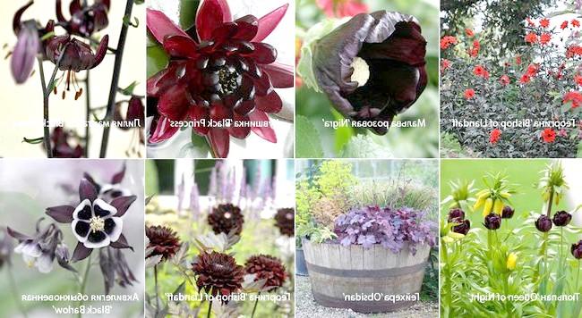 Рослини з чорним відтінком