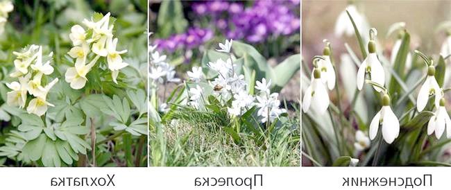 Фото - Квітучі багаторічники для тіньового квітника