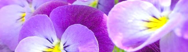 Фото - Квіти фіалки і їх селекція в докладному розгляді