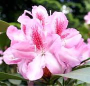 Фото - Квіти маленької іди