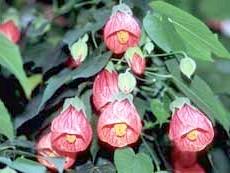 Фото - Декоративно-листяні рослини з фотографіями