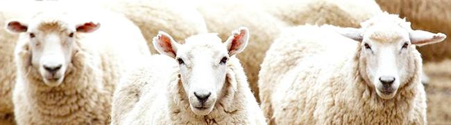Фото - Робимо годівниці для овець без істотних фінансових витрат