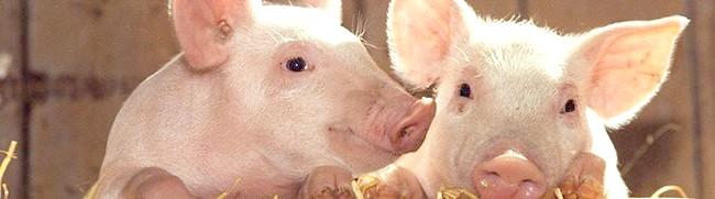 Фото - Робимо своїми руками годівниці для свиней, ніпельні поїлки та інші складові комфортного і здорового життя порося