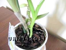 Вегетативне розмноження (поділ). Орхідея Дендробіум