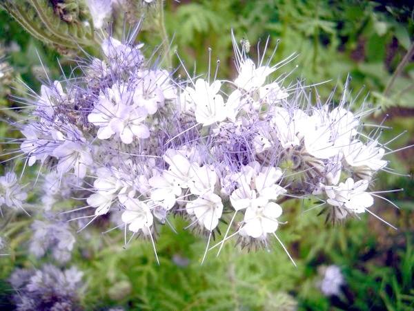 Фацелія в цвіту