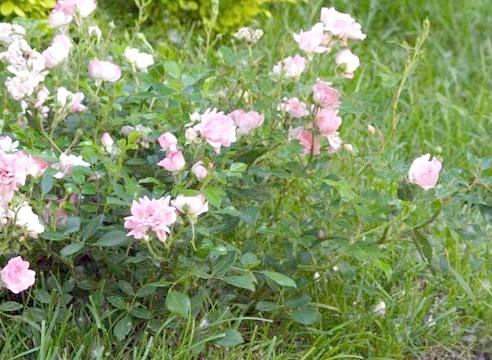Роза групи флорибунда, сорт Caramella