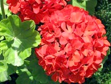Квітуча герань
