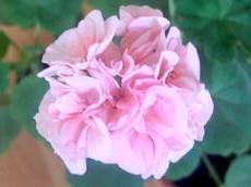 Квітка герані