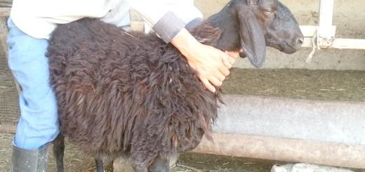 Огляд гіссарської вівці, postimg.org
