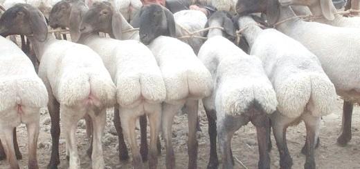 Гіссаро - курдючні вівці, wikimedia.org