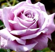 Фото блакитної троянди Флорибунда'Blue Parfum'