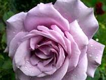 Чайно-гібридна троянда'Charles de Gaulle'