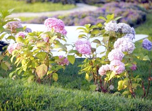 Гортензія, цвітіння, Hidrangea