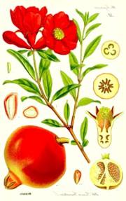 Гранат звичайний (Punica granatum)