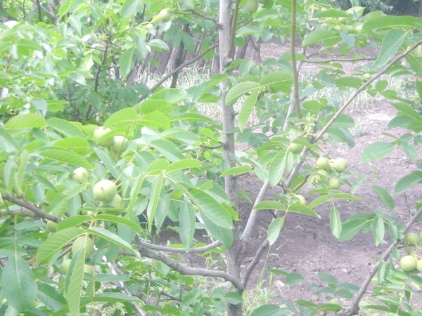 Ще одна фотографія дерева цього сорту